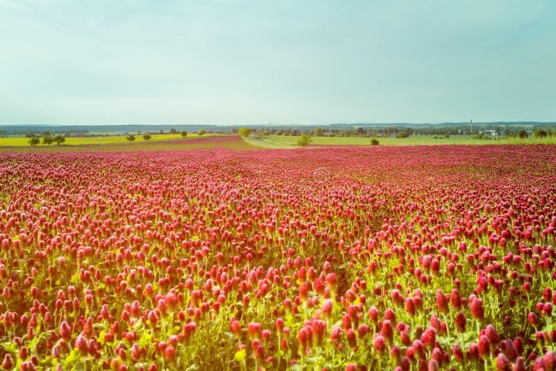 Czerwonej koniczyny pola przeciw niebieskiemu niebu zdjęcia stock