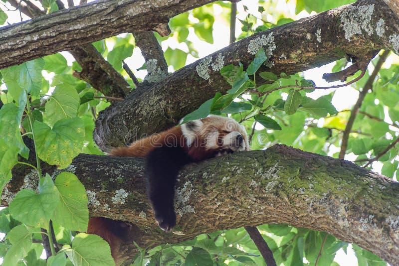 Czerwonej pandy Ailurus fulgens Śpi na gałąź zdjęcia royalty free