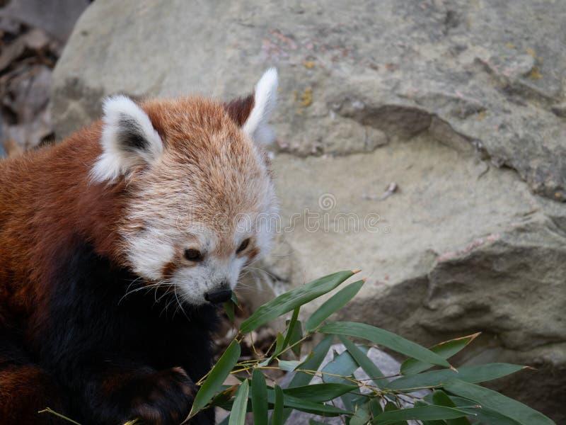 Czerwonej pandy mienia bambus z głazem w tle fotografia stock