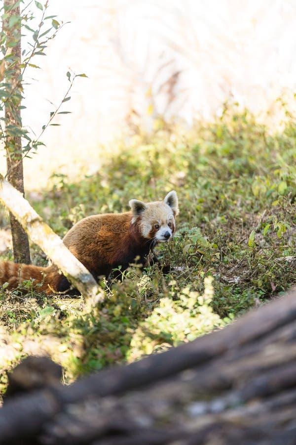 Czerwonej pandy odprowadzenie na ziemi z trawą w Padmaja Naidu Himalajskim Zoologicznym parku przy Darjeeling, India fotografia royalty free
