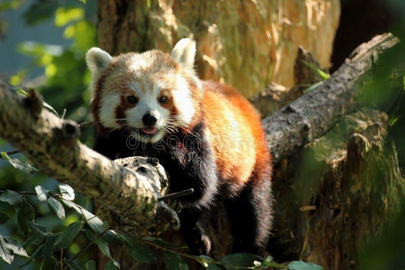 Czerwonej pandy ono uśmiecha się obrazy stock