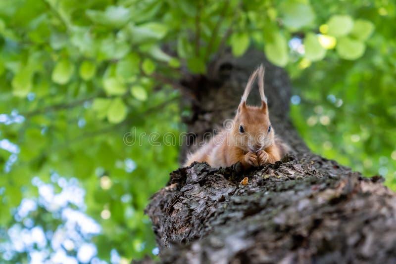 Czerwonej wiewiórki karmienie na drzewie obrazy stock