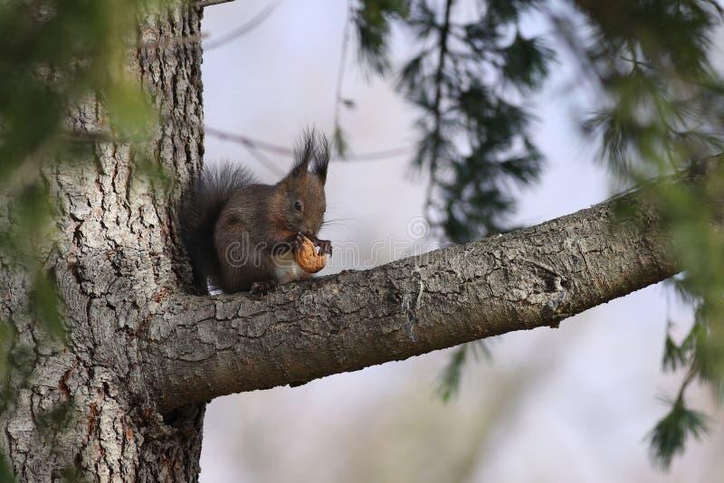 Czerwonej wiewiórki karmienie na orzechu włoskim zdjęcia stock