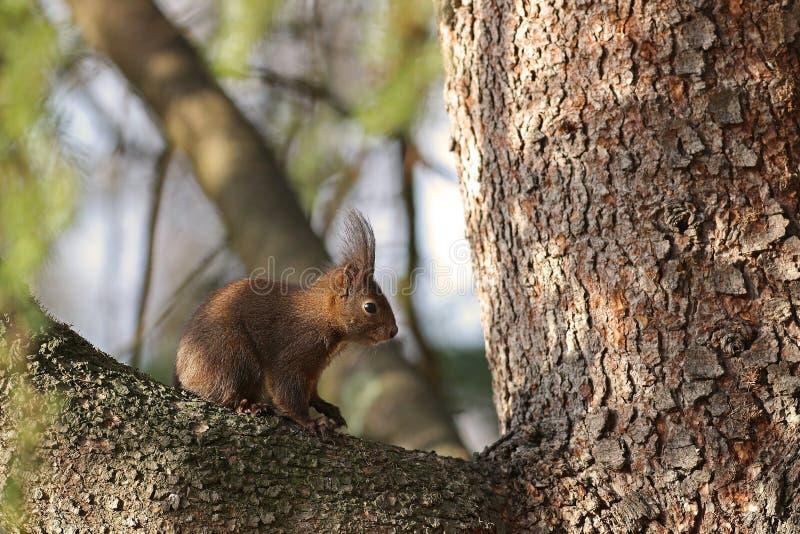 Czerwonej wiewiórki obsiadanie na gałąź obrazy stock