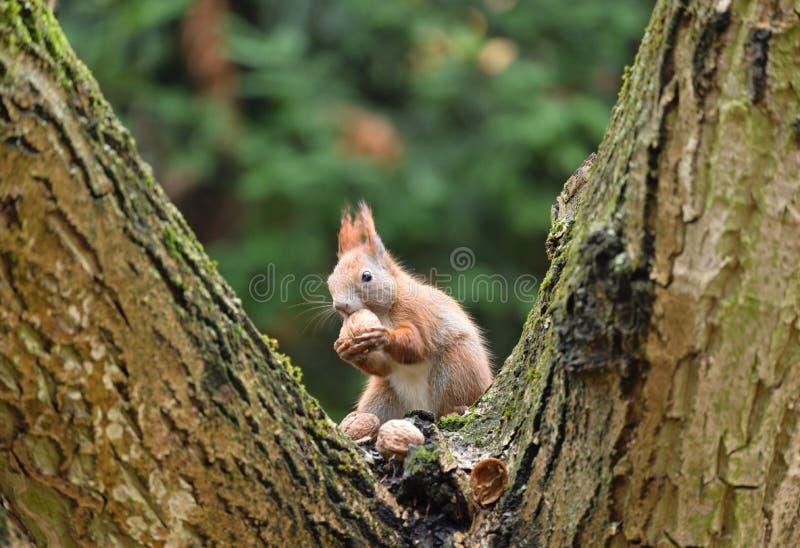 Czerwonej wiewiórki Sciurus Vulgaris Somwhere w Polska obrazy stock