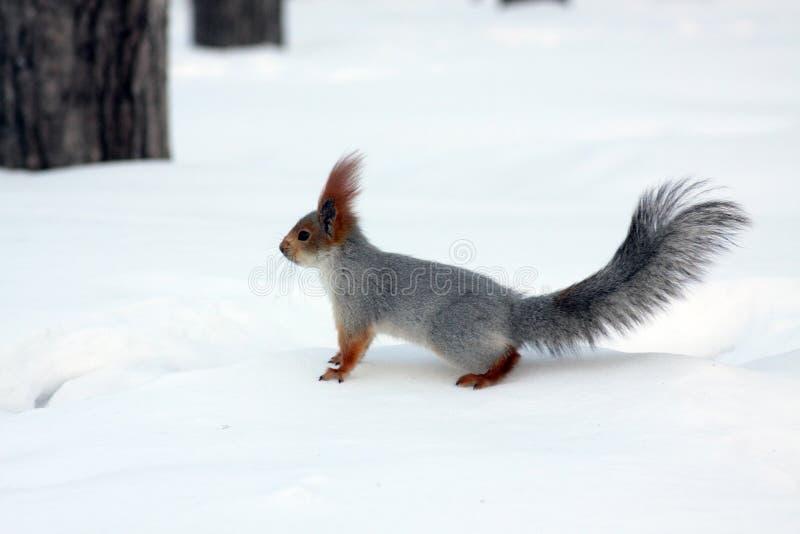 czerwonej wiewiórki zima zdjęcie stock