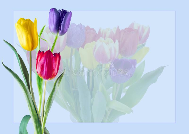 Czerwoni Żółci Purpurowi tulipany zdjęcie royalty free