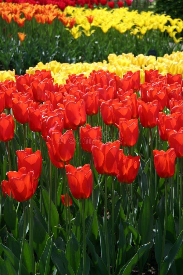 Czerwoni & Żółci Tulipany Fotografia Stock