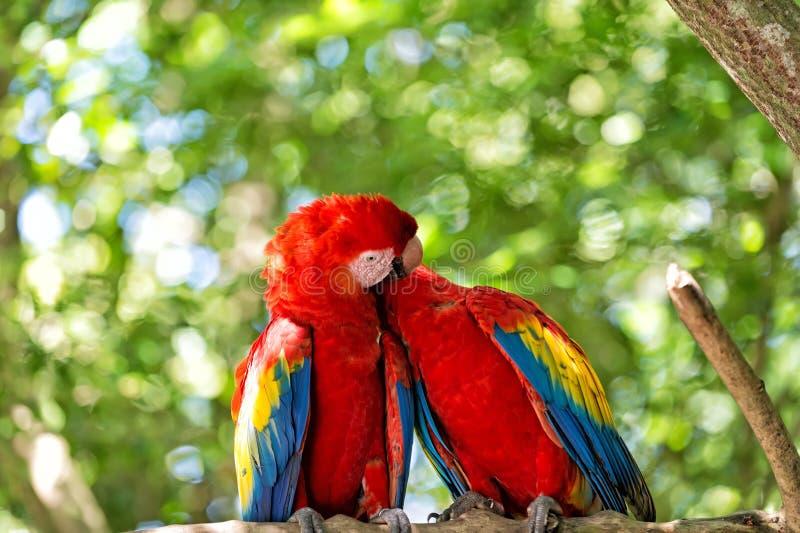 Czerwoni arony lub ar papugi na zielonym naturalnym tle obrazy royalty free