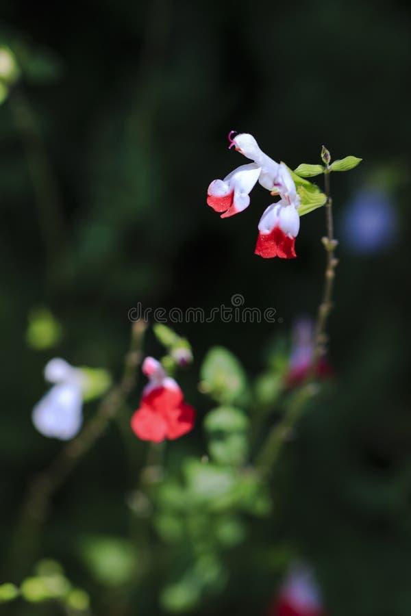 Czerwoni & Biali kwiaty zdjęcia stock