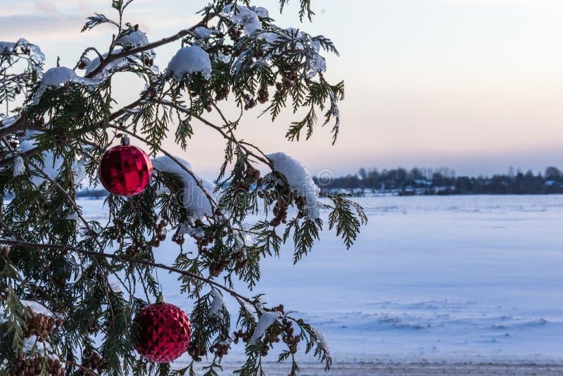 Czerwoni boże narodzenie ornamenty na cedrowym drzewie zdjęcie royalty free
