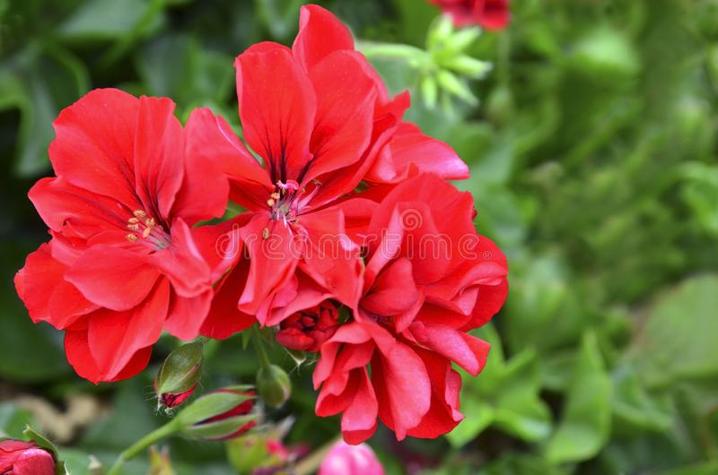 Czerwoni bodziszk?w kwiaty w lato ogr?dzie na zamazanej zieleni opuszczaj? t?o Kwitn?cy pelargoniums zdjęcia royalty free