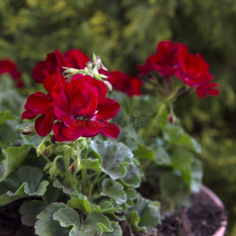 Czerwoni bodziszki w ogródzie obraz stock
