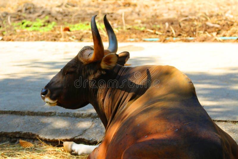 Czerwoni byki w zoo, przyrody ochronie, zwierzętach i naturze, obraz royalty free