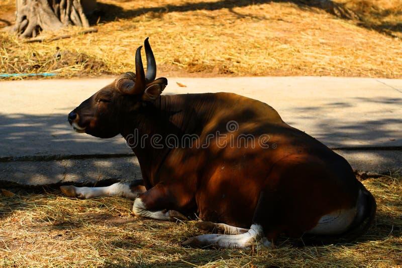 Czerwoni byki w zoo, przyrody ochronie, zwierzętach i naturze, obraz stock