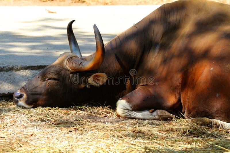 Czerwoni byki w zoo, przyrody ochronie, zwierzętach i naturze, fotografia stock