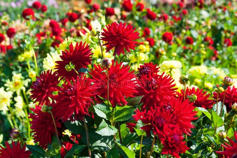 Czerwoni dalia kwiaty fotografia royalty free
