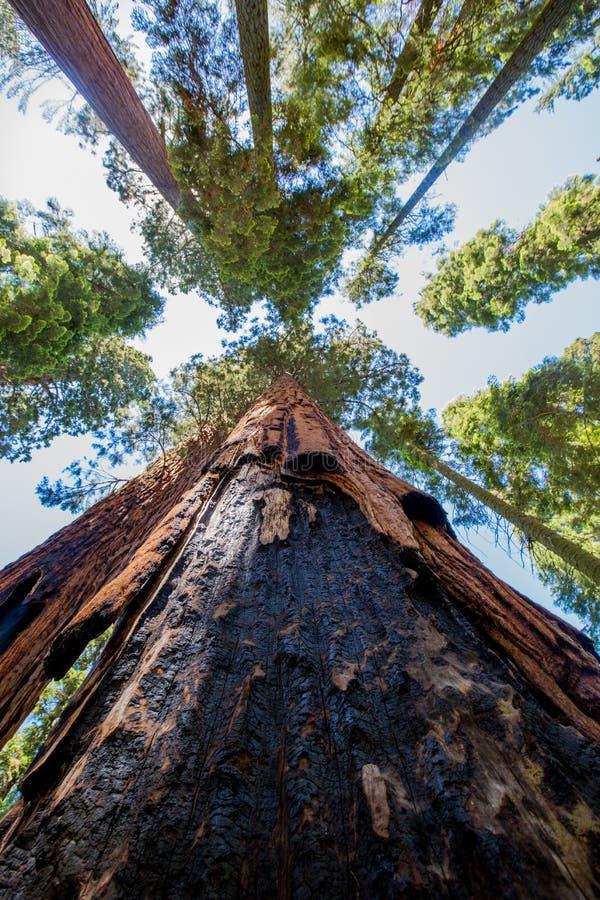 Czerwoni drewna Wysocy w niebie zdjęcie royalty free