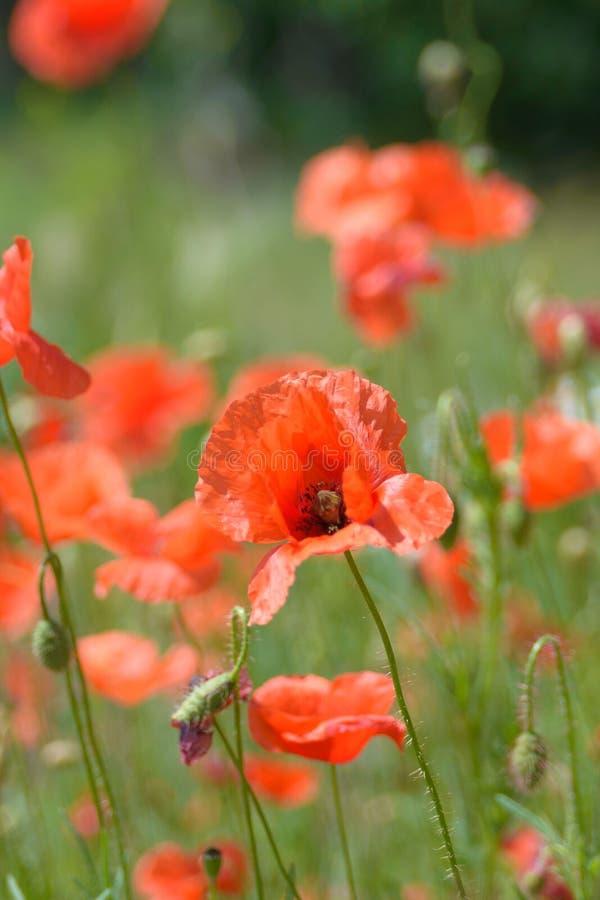 Czerwoni dzicy pola maczki w promieniach wieczór słońce kwiaty drog? Pole Wildflowers ciep?e lato macs obraz stock