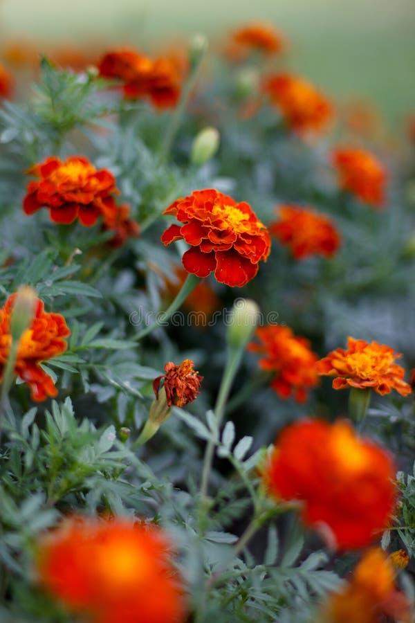 Czerwoni goździków kwiaty zdjęcia royalty free