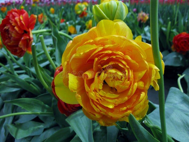 Czerwoni i żółci peonia tulipanu kwiaty obrazy stock