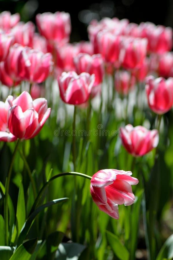 Czerwoni i biały tulipany zdjęcia stock