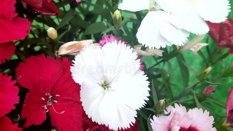 Czerwoni i biali kwiaty Chińscy goździki, Dianthus chinensis royalty ilustracja