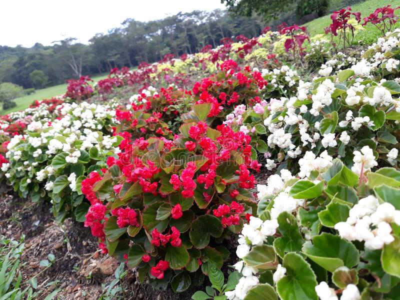 Czerwoni i biali kwiaty kwitnie w ogródzie fotografia royalty free