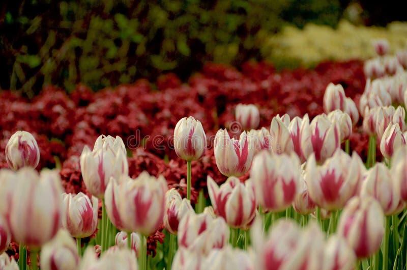 Czerwoni i Biali tulipany fotografia royalty free
