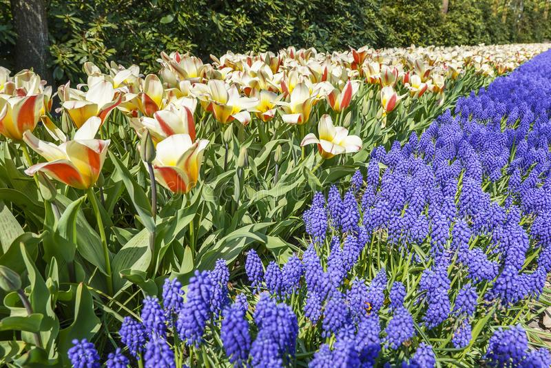 Czerwoni i pomarańczowi tulipany łączą pięknie z pospolitym gronowego hiacyntu Muscari fotografia royalty free