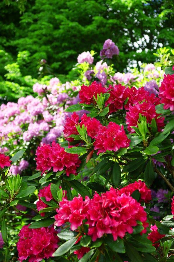 Czerwoni i purpurowi różaneczniki kwitną w ogródzie zdjęcie stock