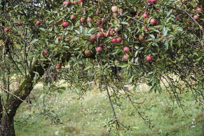 Czerwoni jabłka na drzewie w ogródzie fotografia stock