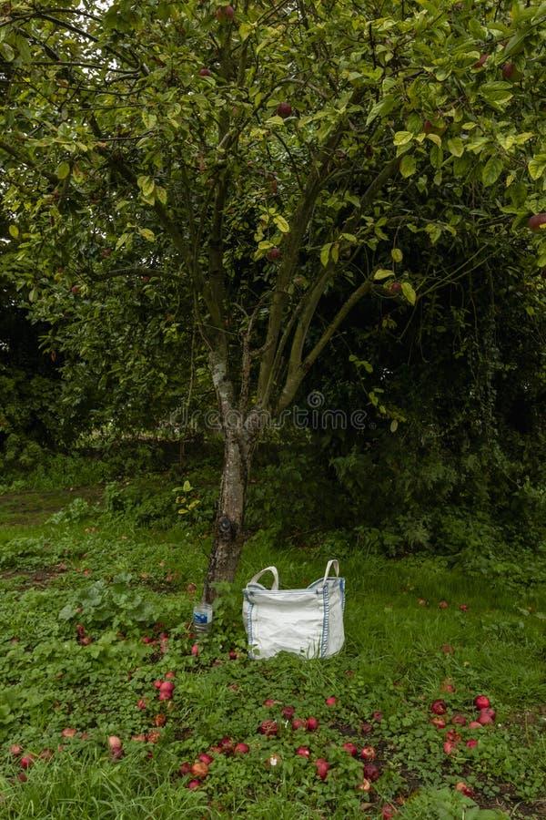 Czerwoni jabłka pod jabłonią z torbą zdjęcie stock