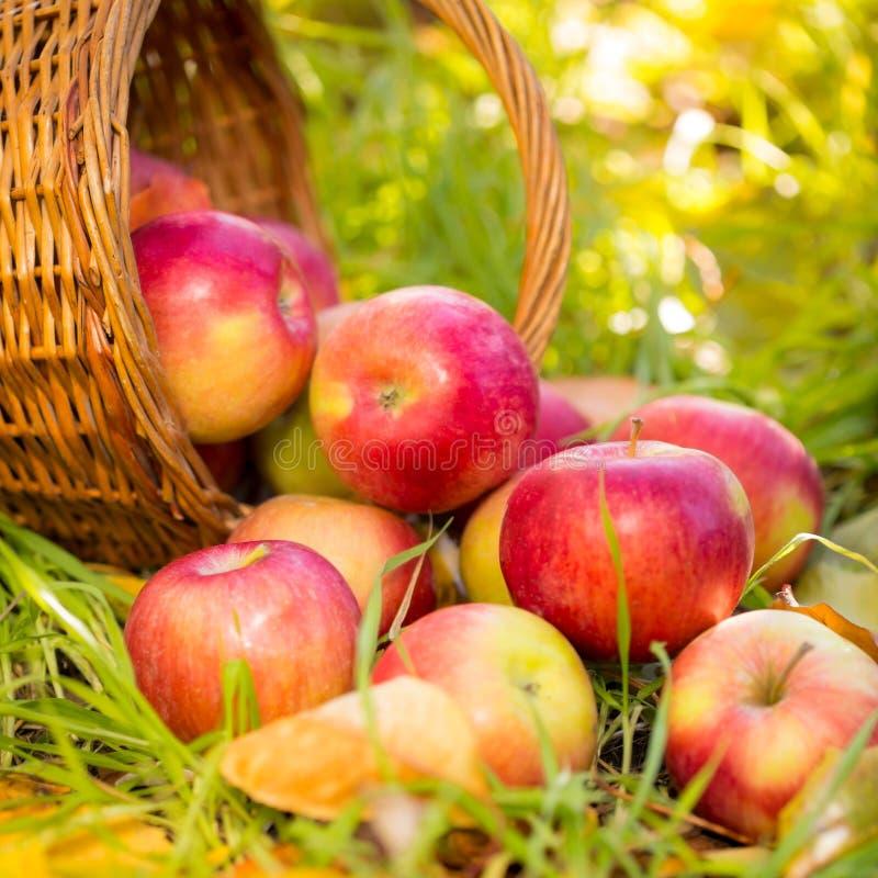 Czerwoni jabłka w jesieni outdoors obrazy stock