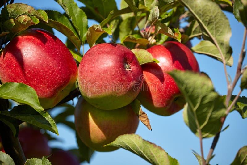 Czerwoni jabłka w sadzie zdjęcia stock