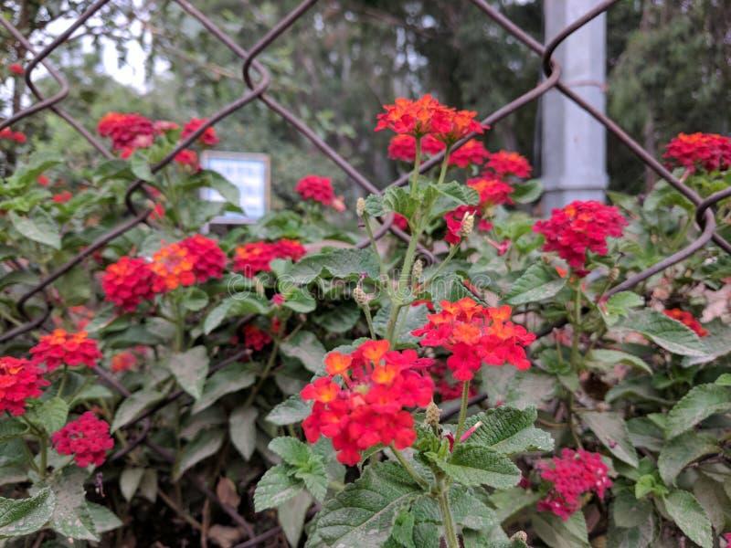 czerwoni jaskrawy kwiaty zdjęcie royalty free