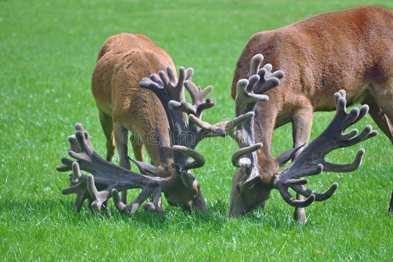 Czerwoni jelenie z imponująco poroże fotografia royalty free