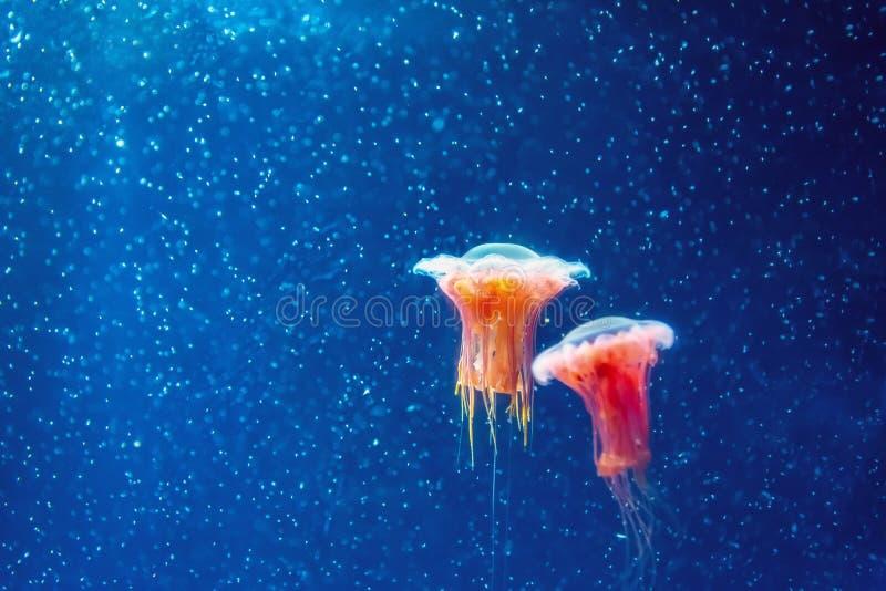 Czerwoni jellyfish wśród głębokiego morza zimnych wod i bąbli, mikrokosmos zdjęcia stock