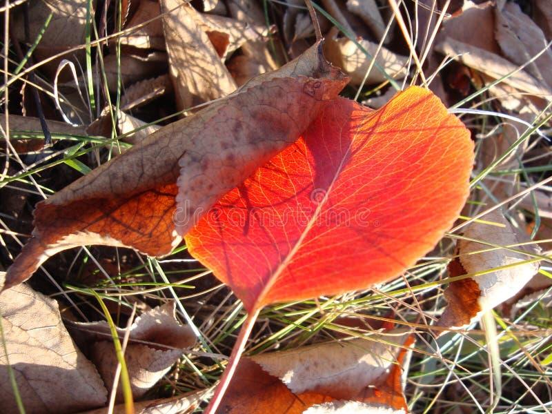 Czerwoni jesień liście na ścianie, tło obrazy royalty free