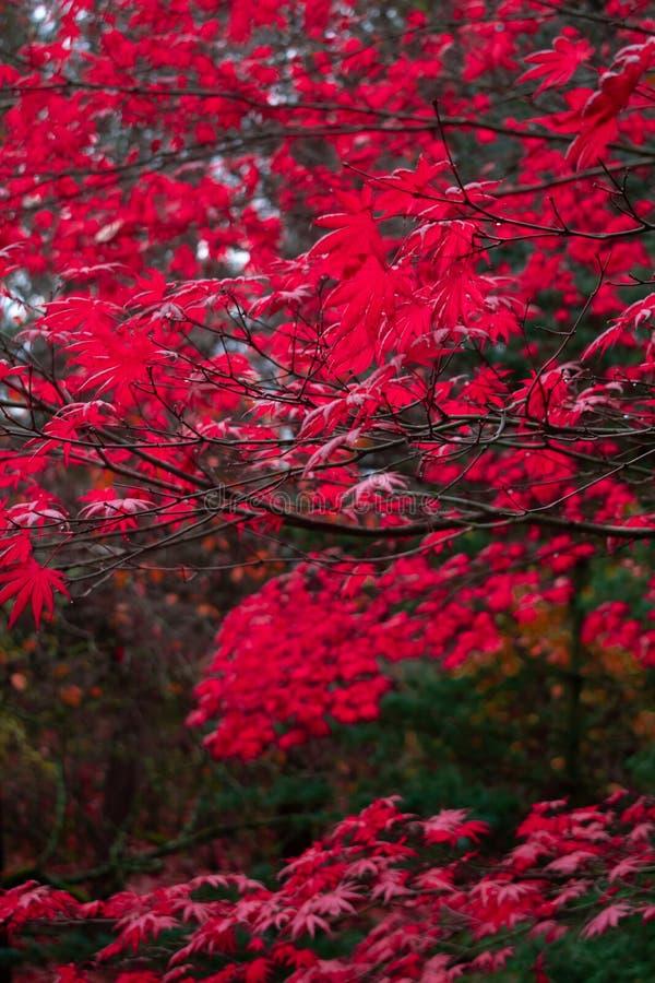 Czerwoni jesień liście w Pacyficznym północnym zachodzie obrazy stock