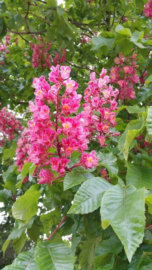 Czerwoni końscy cisawego drzewa kwiatu panicles obrazy royalty free