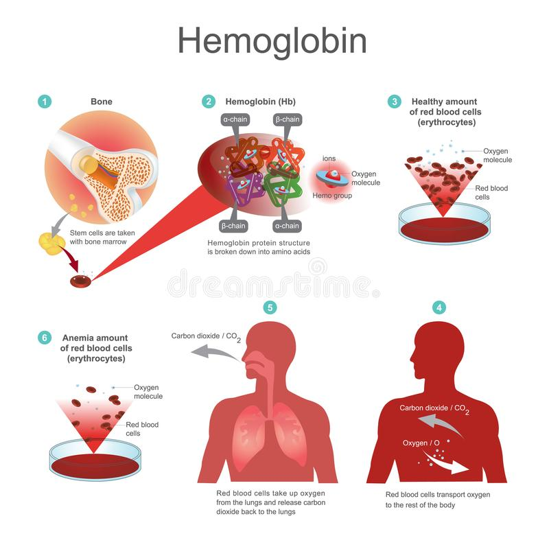 Czerwoni komórka krwi erytrocyty zaczynają w szpiku kostnym Rewolucjonistka bl ilustracji