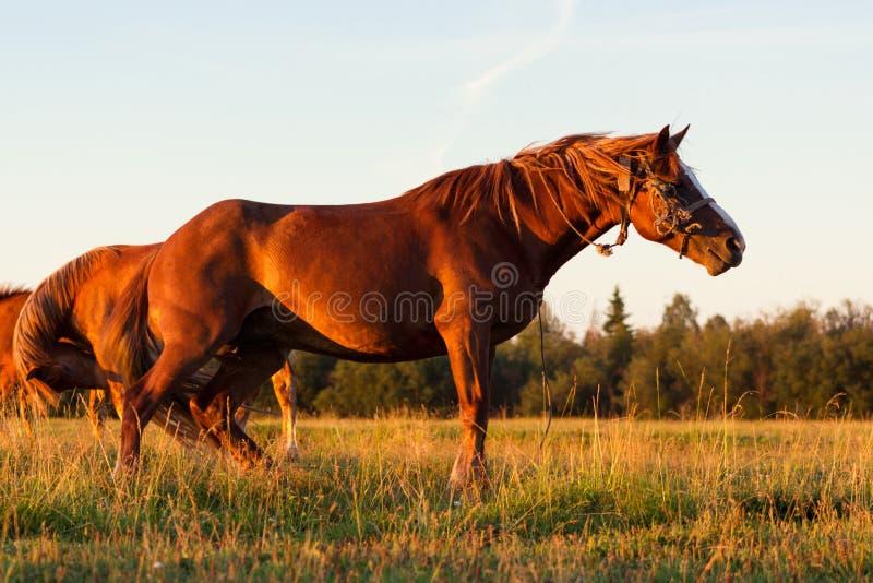 Czerwoni konie przy złotą godziną na paśniku zdjęcie stock