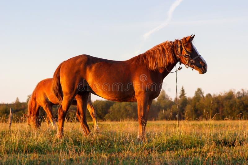 Czerwoni konie przy złotą godziną na paśniku obraz royalty free