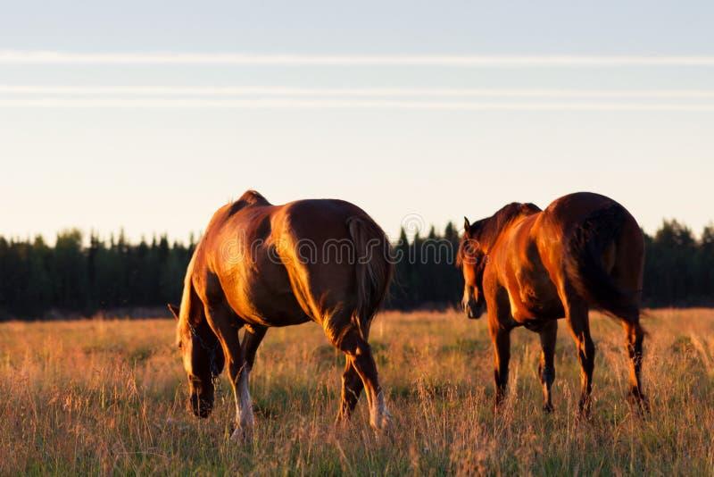 Czerwoni konie przy złotą godziną na paśniku fotografia royalty free