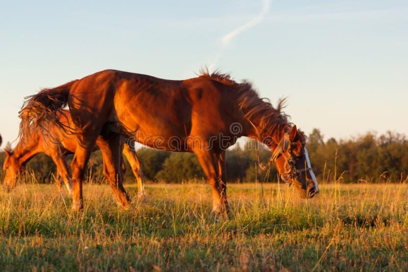 Czerwoni konie przy złotą godziną na paśniku zdjęcie royalty free