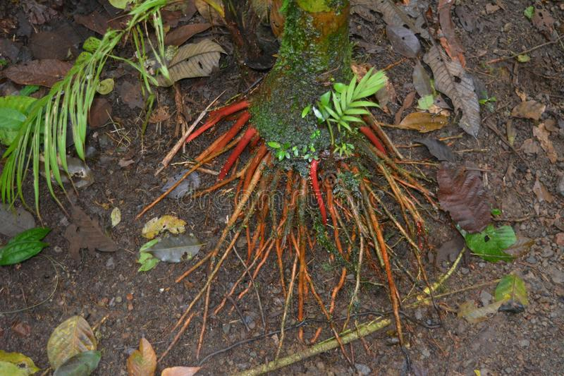 Czerwoni korzenie liany pląta młodą bambusową arkanę w chmurnym lesie Costa Rica zdjęcie royalty free