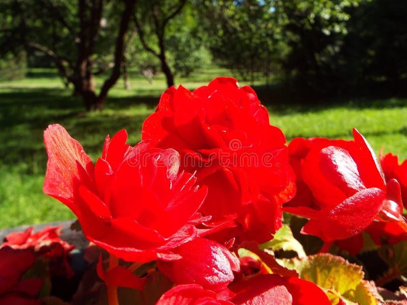 Czerwoni kwiaty begonia na kwiatu ? zdjęcia royalty free