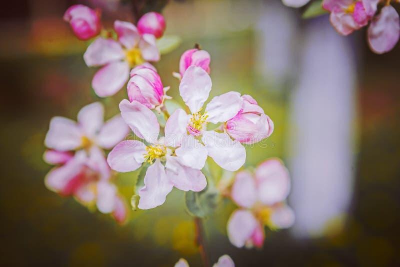 Czerwoni kwiaty jabłoni instagram przełaz obrazy royalty free