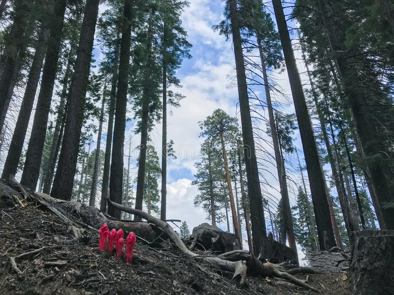 Czerwoni kwiaty wyłaniają się od palącego krajobrazu w Mariposa gaju, Yosemite park narodowy, Kalifornia w wiośnie zdjęcie stock